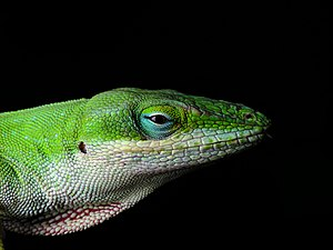 Head of a Carolina Anole