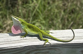 Anolis carolinensis by Jeff Heard.jpg