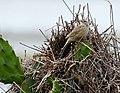 Anumbius annumbi - Firewood gatherer on its nest; Tavares, Rio Grande do Sul, Brazil.jpg