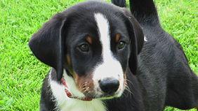 Appenzeller Sennenhund welp 02.jpg