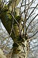 Apple tree trunk with moss and lichen in Nuthurst, West Sussex, England.jpg