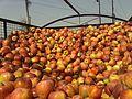 Apples of Kashmir.jpg