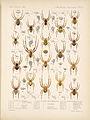 Arachnida Araneidea Vol 1 Table 6.jpg