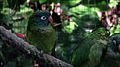 Aratinga acuticaudata -captive-8a.jpg