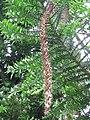 Araucaria bidwillii 03 by Line1.jpg