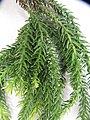 Araucaria biramulata J.Buchholz (AM AK330439-2).jpg