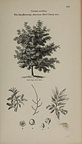 Arboretum et fruticetum britannicum, or - The trees and shrubs of Britain, native and foreign, hardy and half-hardy, pictorially and botanically delineated, and scientifically and popularly described (14597257379).jpg