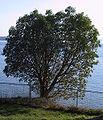 Arbutus Tree BC.jpg
