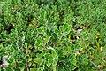 Arctostaphylos uva-ursi kz01.jpg