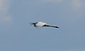 Ardea alba flight.jpg