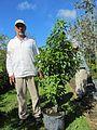 Ardisia Escallonioides (Marlberry) Bush (28844064666).jpg