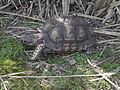 Argentine Tortoise (Chelonoidis chilensis).JPG
