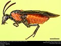 Argid sawfly, Poison Ivy Sawfly (Argidae, Arge humeralis (Pallisot de Beauvois)) (36567662216).jpg