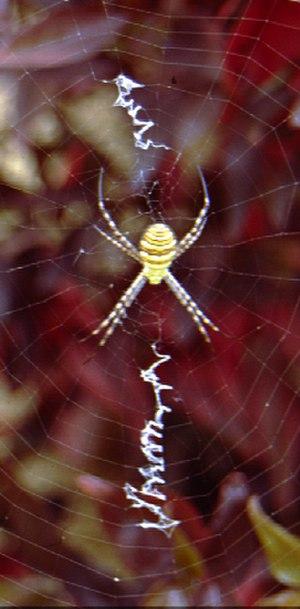 Web decoration - An Argiope trifasciata with linear decoration.