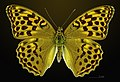 Argynnis paphia MHNT CUT 2013 3 24 Cabrerets 46 Female Dorsal.jpg
