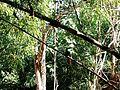 Ariramba em rio taquari 02.jpg