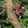 Aristolochia arborea 04.jpg