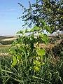 Aristolochia clematitis sl19.jpg