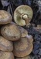 Armillaria mellea 103303751.jpg