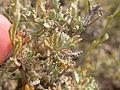 Artemisia arbuscula (3839210367).jpg