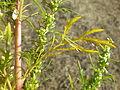Artemisia biennis (7997948660).jpg