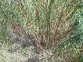 Artemisia dracunculus (5021063342).jpg