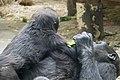 Artis Gorillas (36242001535).jpg