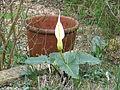 Arum creticum Marmaris White (13163543504).jpg