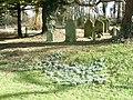 Ashe, churchyard snowdrops - geograph.org.uk - 1162760.jpg