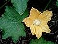 Ashgourd (benincasa pruriens) flower at Ponduru in Srikakulam district.jpg