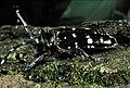 Asian longhorn beetle (8424213005).jpg
