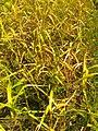 Asparagales - Allium sativum - 1.jpg