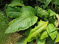 Asterales - Inula helenium - 2.jpg