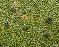 Asterothyrium decipiens - Flickr - pellaea.jpg