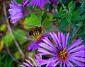 Asters and a Buzy Bee - panoramio.jpg