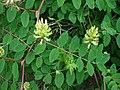 Astragalus glycyphyllos W.jpg