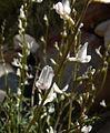 Astragalus remotus 2.jpg