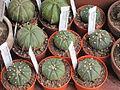 Astrophytum asterias ed euphorbia obesa.JPG