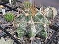 Astrophytum ornatum 160988.jpg