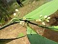 Atalantia racemosa 15.jpg