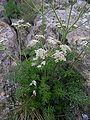 Athamanta cretensis.JPG