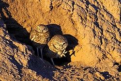 Athene cunicularia -Colorado Desert, California, USA -two-8 (3).jpg