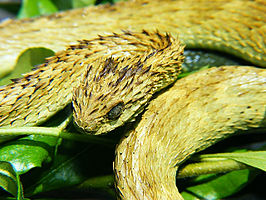 Stekelige bosadder (Atheris hispida)