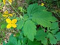 Atlas roslin pl Glistnik jaskółcze ziele 3649 8333.jpg