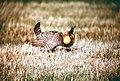 Attwater's Prairie Chicken.JPG