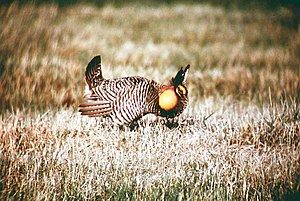 An Attwater's prairie chicken