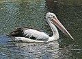 Australian Pelican JCB.jpg