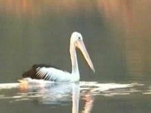 File:Australian Pelican samcem.ogv