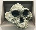 Australopithecus boisei IMG 5592 BMNH.jpg
