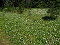 Avalanche Lilies - Flickr - brewbooks.jpg